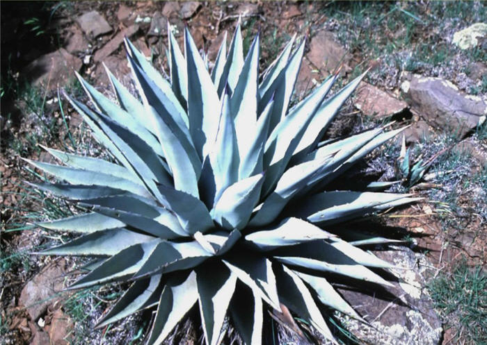 Plant photo of: Agave parryi v. couesii