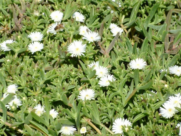 Plant photo of: Delosperma 'Alba'