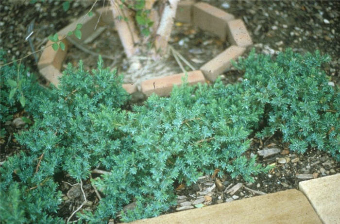 Plant photo of: Juniperus rigida conferta 'Blue Pacific'