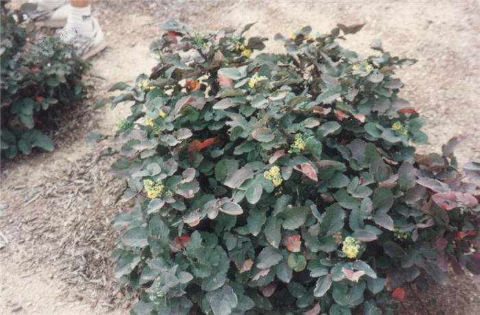 Plant photo of: Berberis repens