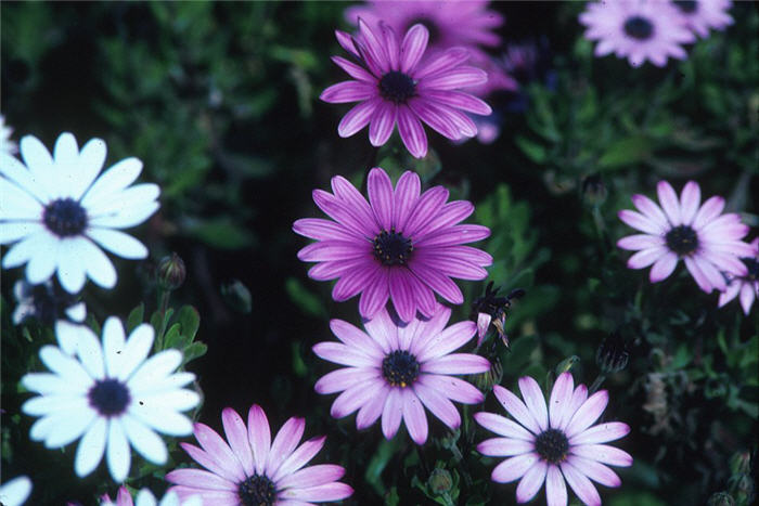 Plant photo of: Osteospermum fruticosum