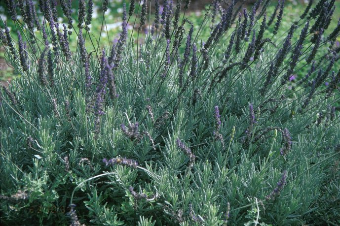 Plant photo of: Lavandula 'Goodwin Creek Gray'