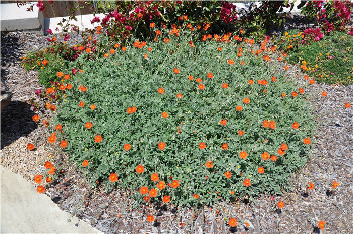 Plant photo of: Helianthemum nummularium