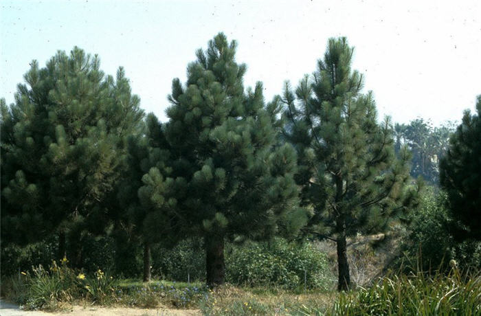Plant photo of: Pinus coulteri