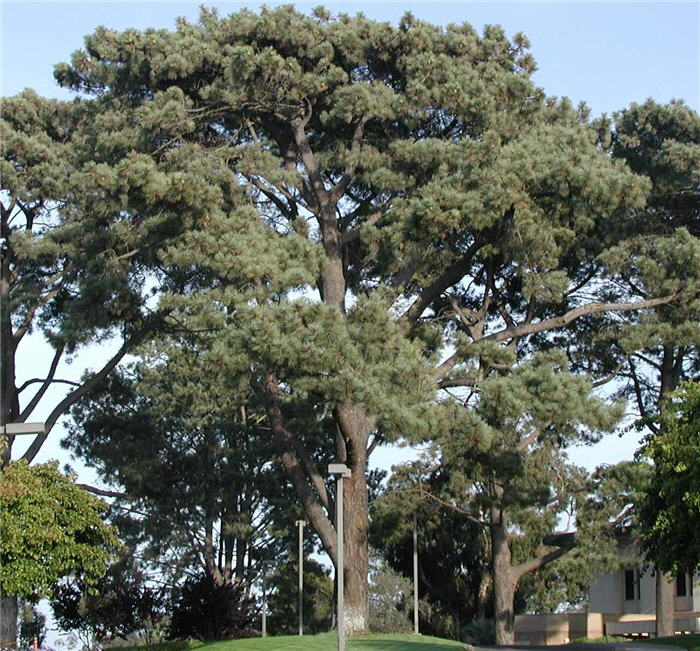 Plant photo of: Pinus torreyana