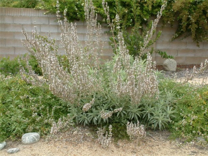 Plant photo of: Salvia apiana