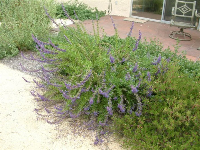 Plant photo of: Trichostema lanatum