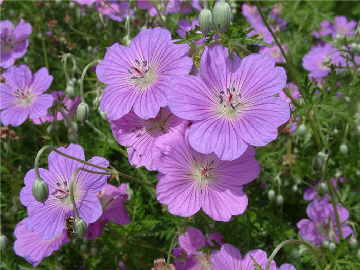 Plant photo of: Geranium incanum