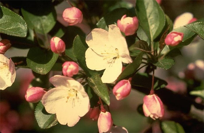 Plant photo of: Malus hupehensis