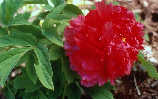 Plant photo of: Paeonia 'Fire to Make Immortality