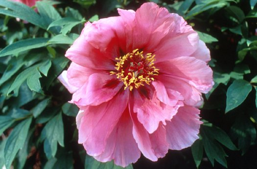Plant photo of: Paeonia  'Flying Swallow in Red Dress