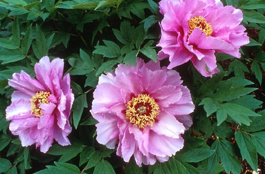 Plant photo of: Paeonia  'Lotus-Like