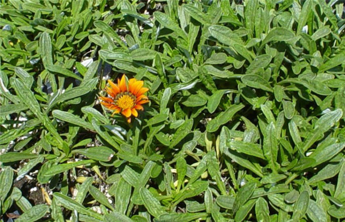 Plant photo of: Gazania 'Fiesta Red'