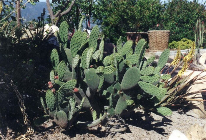 Plant photo of: Opuntia ficus-indica