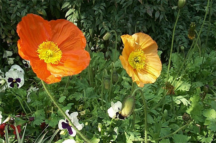 Plant photo of: Papaver nudicaule