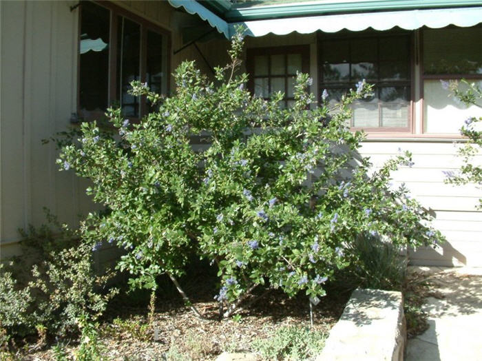 Plant photo of: Ceanothus 'Ray Hartman'