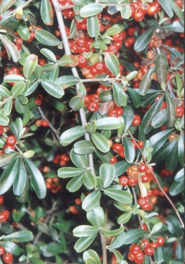 Plant photo of: Pyracantha 'Santa Cruz'