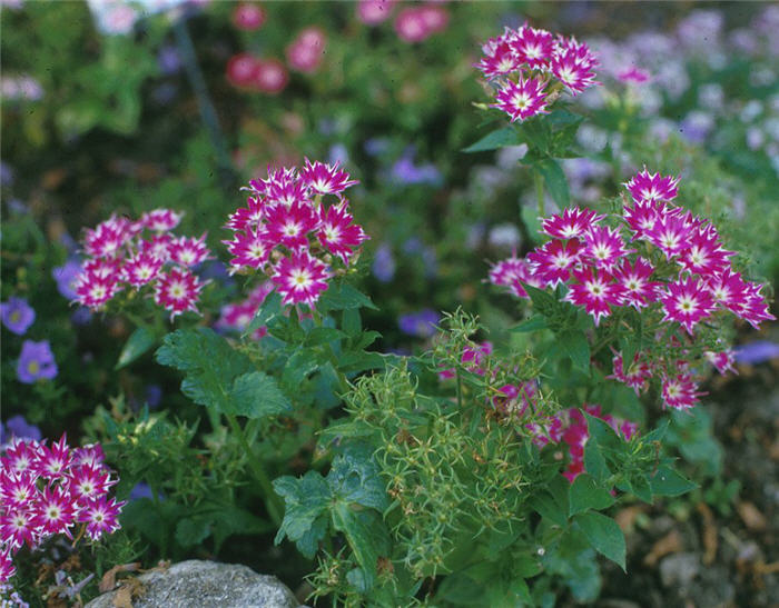 Plant photo of: Phlox drummondii