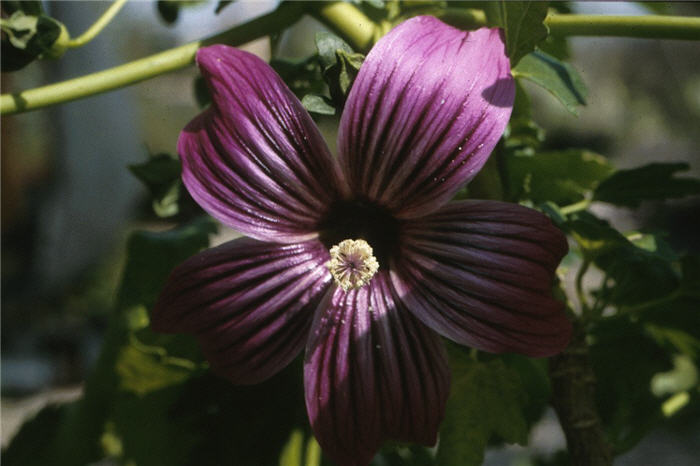 Plant photo of: Lavatera assurgentiflora