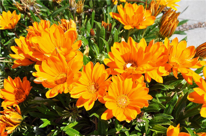 Plant photo of: Gazania hybrids