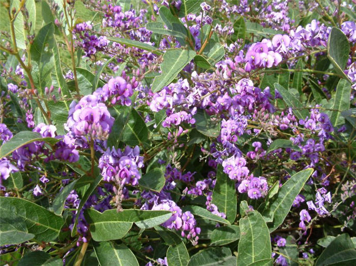 Plant photo of: Hardenbergia violacea