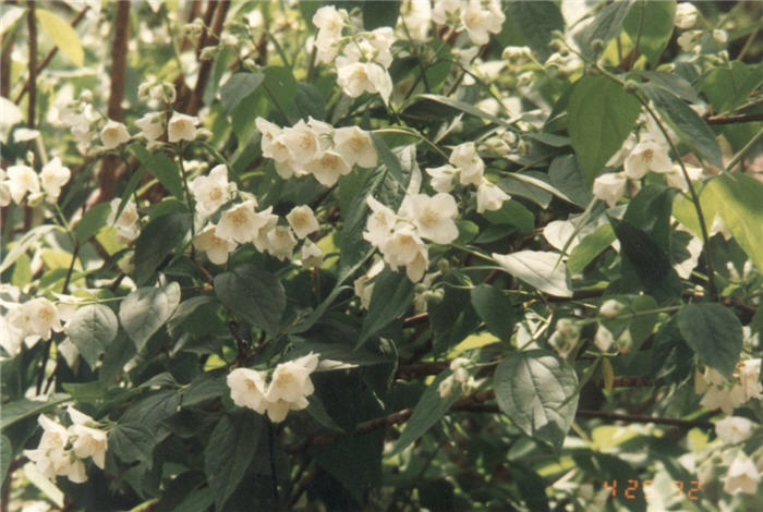 Plant photo of: Philadelphus lewisii 'Goose Creek'
