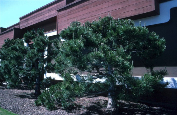 Plant photo of: Pinus thunbergii