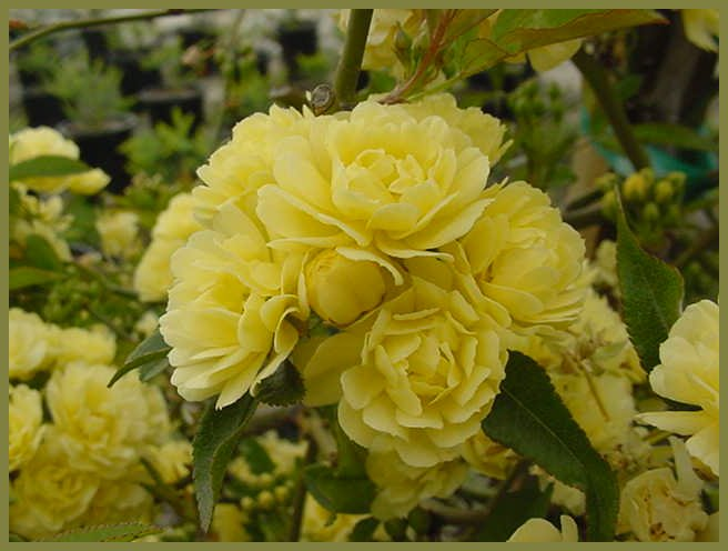 Plant photo of: Rosa banksiae 'Lutea'