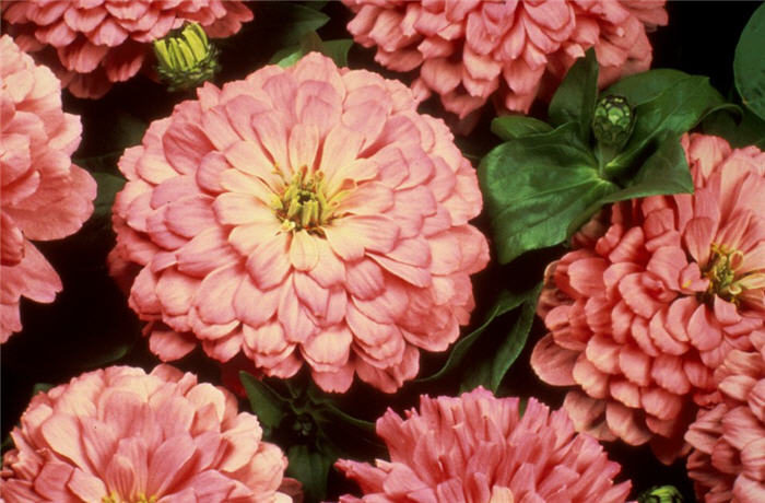 Plant photo of: Zinnia elegans