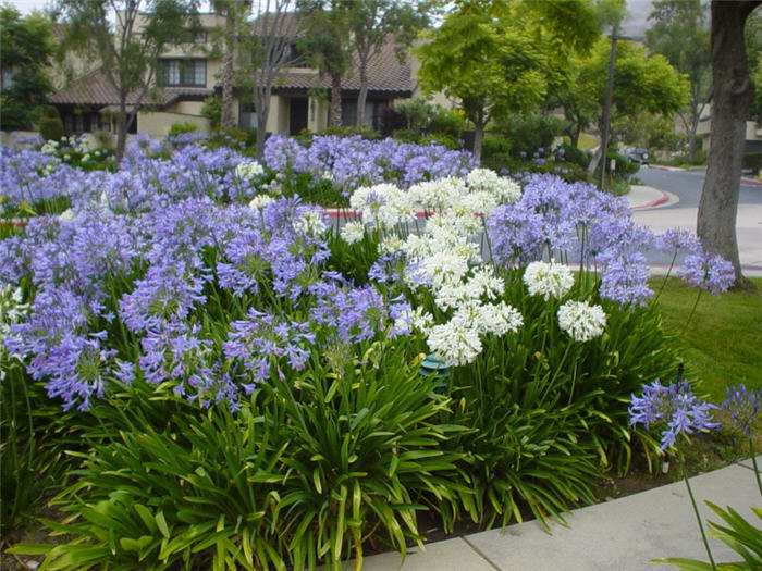 Plant photo of: Agapanthus hybrids