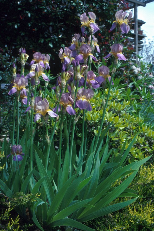 Plant photo of: Iris Bearded Hybrids
