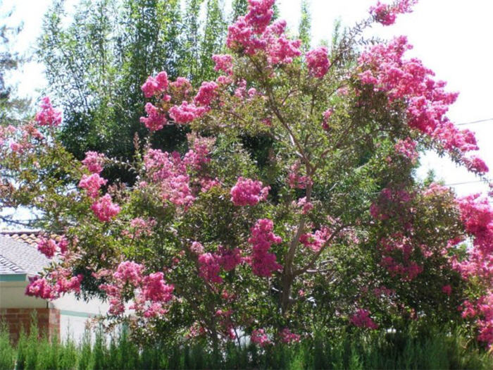 Plant photo of: Lagerstroemia indica (Varieties)