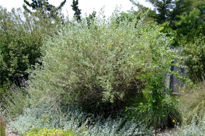 Plant photo of: Atriplex lentiformis breweri