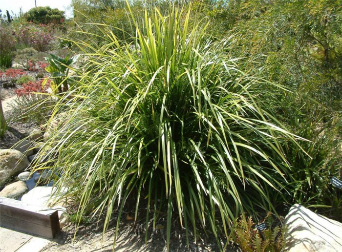 Plant photo of: Dianella tasmanica