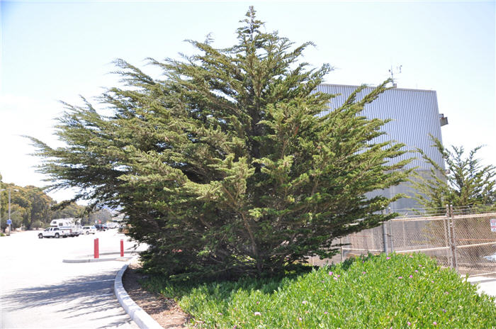 Plant photo of: Cupressus macrocarpa
