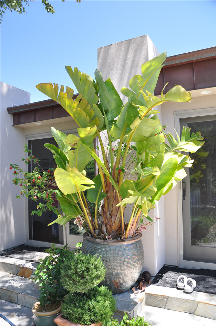 Plant photo of: Strelitzia nicolai