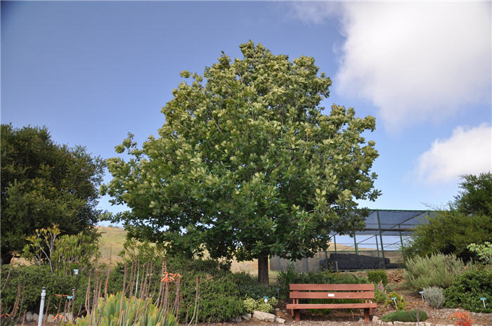Plant photo of: Quercus frainetto