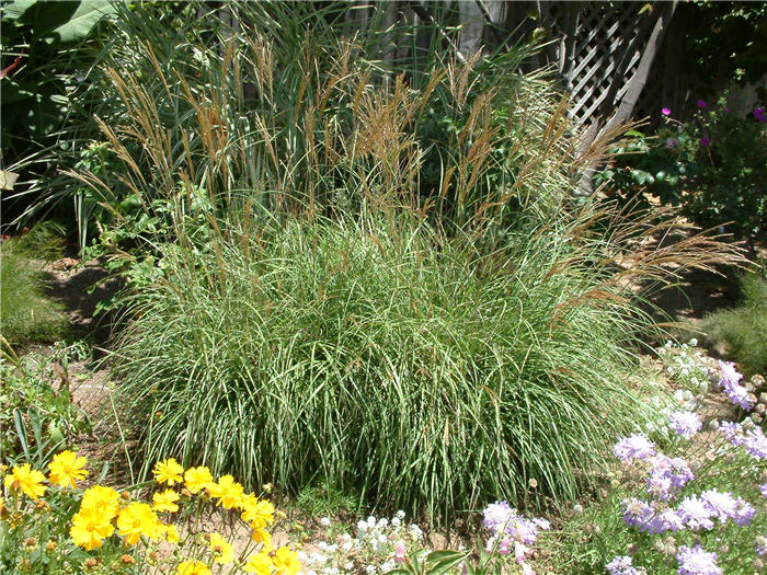 Plant photo of: Miscanthus sinensis 'Adagio'