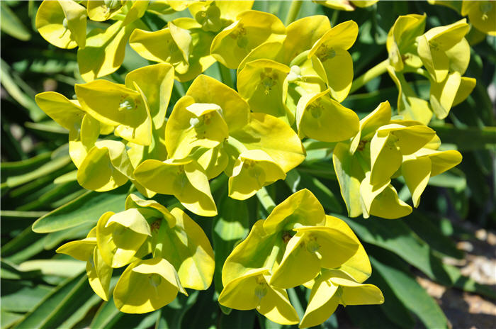 Plant photo of: Euphorbia lambii