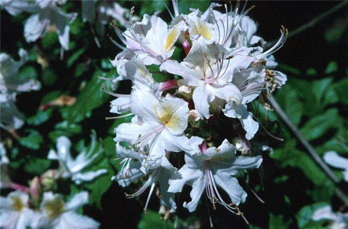 Plant photo of: Rhododendron occidentale