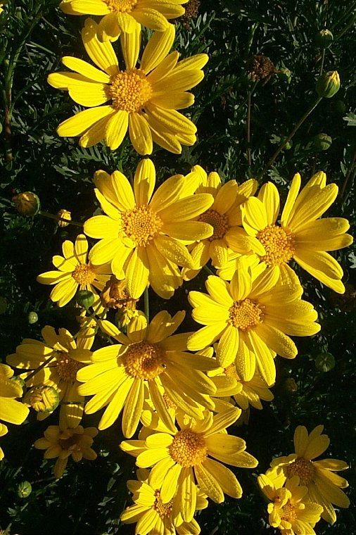Plant photo of: Euryops pectinatus
