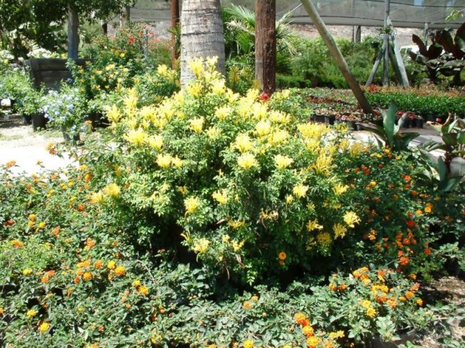 Plant photo of: Tecoma capensis 'Aurea'