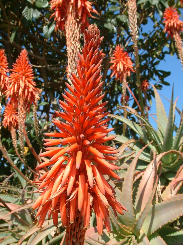 Plant photo of: Aloe arborescens