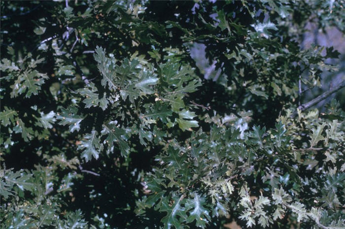 Plant photo of: Quercus kelloggii