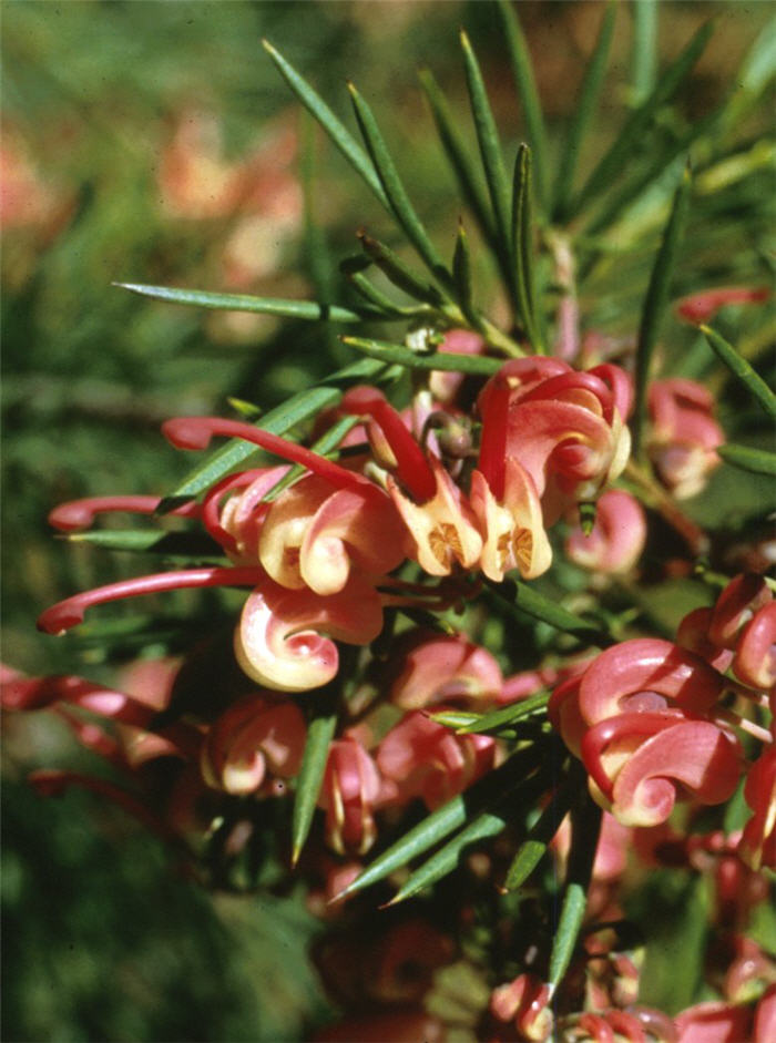 Plant photo of: Grevillea 'Noellii'