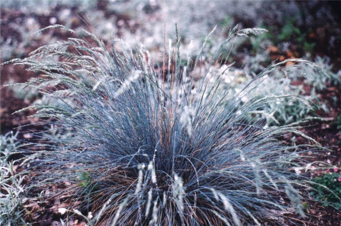Plant photo of: Festuca amethystima 'Superba'