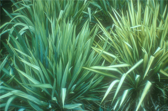 Plant photo of: Yucca filamentosa 'Golden Sword'