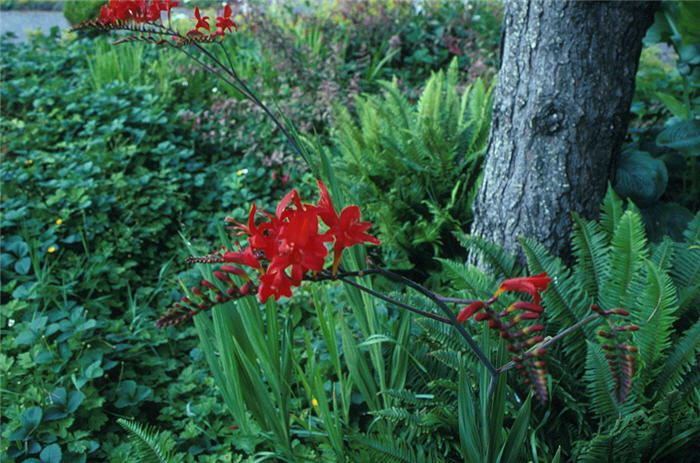 Plant photo of: Crocosmia 'Lucifer'