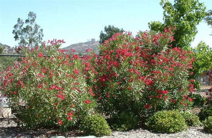 Plant photo of: Nerium oleander