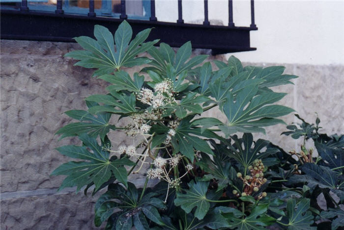 Plant photo of: Fatsia japonica